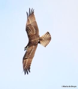 osprey IMG_8387©Maria de Bruyn res