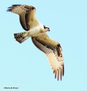 osprey IMG_9298©Maria de Bruyn res