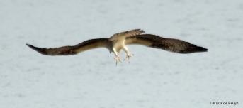 osprey IMG_9466©Maria de Bruyn