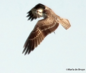 osprey IMG_9503©Maria de Bruyn
