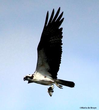 osprey IMG_9908©Maria de Bruyn