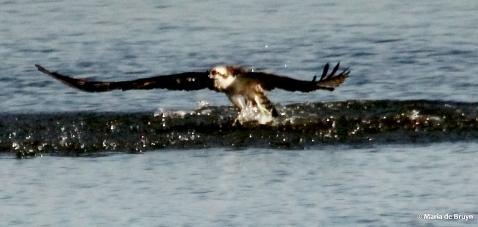 osprey IMG_9944©Maria de Bruyn
