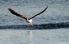 osprey IMG_9947©Maria de Bruyn res
