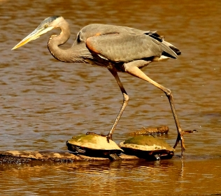 5-MdB great blue heron IMG_4339