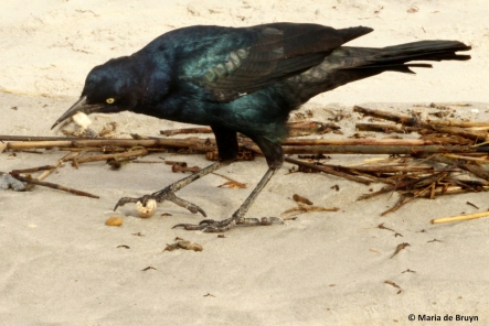 boat-tailed grackle IMG_6386©Maria de Bruyn res