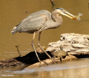 great blue heron IMG_3905©Maria de Bruyn res