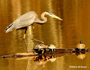 great blue heron IMG_4224©Maria de Bruyn res