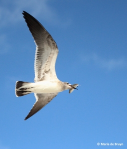 laughing gull IMG_5050©Maria de Bruyn