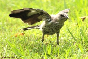 Northern mockingbird IMG_8904©Maria de Bruynres