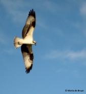 osprey IMG_0689© Maria de Bruyn res