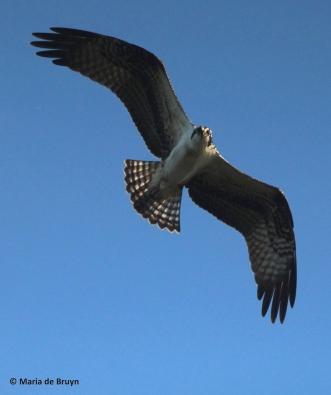 osprey IMG_0736© Maria de Bruyn res
