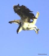 osprey IMG_0802© Maria de Bruyn