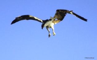 osprey IMG_0803© Maria de Bruyn