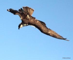 osprey IMG_0805© Maria de Bruyn res