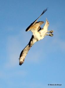 osprey IMG_0806© Maria de Bruyn res
