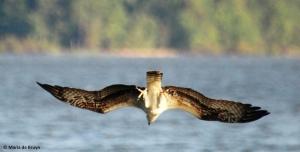 osprey IMG_0812©Maria de Bruyn res