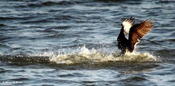 osprey IMG_0813© Maria de Bruyn res