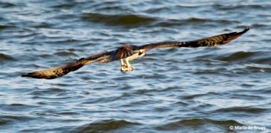 osprey IMG_0815© Maria de Bruyn res