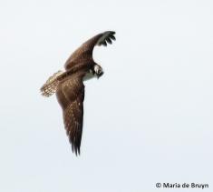 osprey IMG_3810© Maria de Bruyn