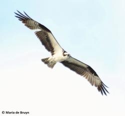 osprey IMG_4103© Maria de Bruyn res