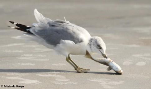 ring-billed gull IMG_5224© Maria de Bruyn res