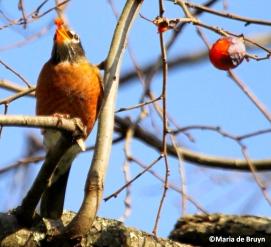 American robin IMG_9813©Maria de Bruyn res