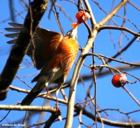 American robin IMG_9826©Maria de Bruyn res