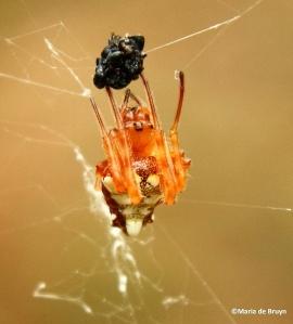 Arrowhead spider IMG_2662© Maria de Bruyn