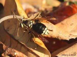 bald-faced hornet IMG_3486©Maria de Bruyn
