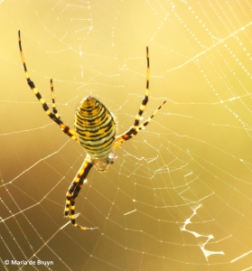 banded argiope IMG_0034©Maria de Bruyn res