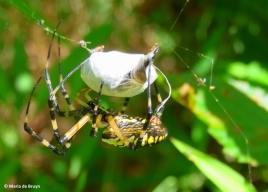 black and yellow garden spider IMG_6324© Maria de Bruyn res