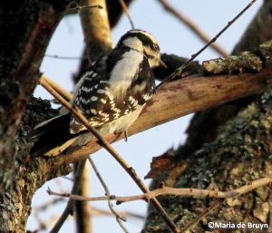 Downy woodpecker IMG_7248© Maria de Bruyn
