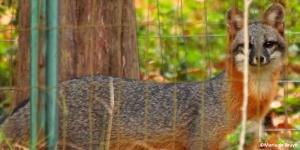 Gray fox IMG_1124 MdB res