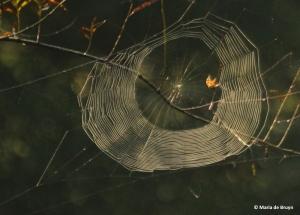 marbled orbweaver IMG_9822©Maria de Bruyn res