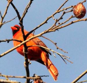 Northern cardinal  IMG_7335© Maria de Bruyn