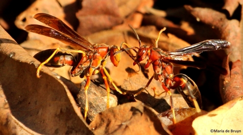Paper wasp polistes metricus IMG_3513©Maria de Bruyn res
