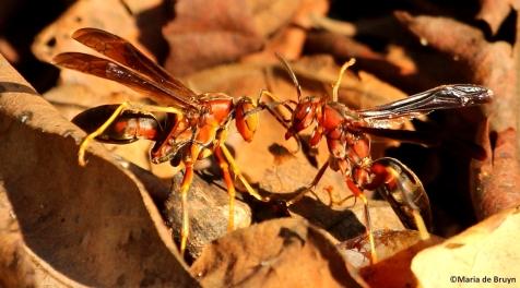Paper wasp polistes metricus IMG_3513©Maria de Bruyn res