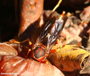 Paper wasp polistes metricus IMG_4359©Maria de Bruyn