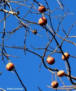 Persimmon tree IMG_6993© Maria de Bruyn res