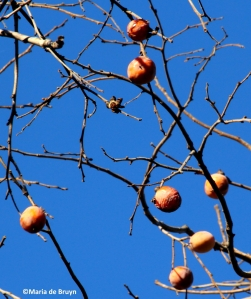 Persimmon tree IMG_6993© Maria de Bruyn res