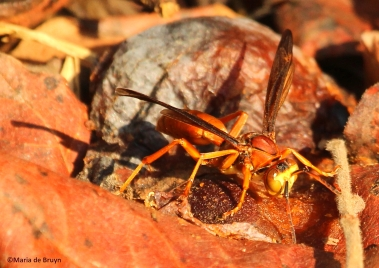 Red wasp P carolina IMG_3495©Maria de Bruyn