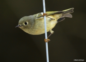 ruby-crowned kinglet IMG_1148©Maria de Bruyn res