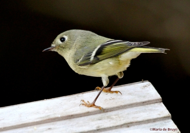 ruby-crowned kinglet IMG_4074© Maria de Bruyn res