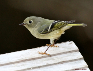 ruby-crowned kinglet IMG_4075© Maria de Bruyn res