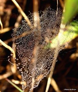 sheetweb dwarf spider IMG_0924©Maria de Bruynsignedres