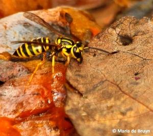 Southern yellowjacket IMG_2473©Maria de Bruyn
