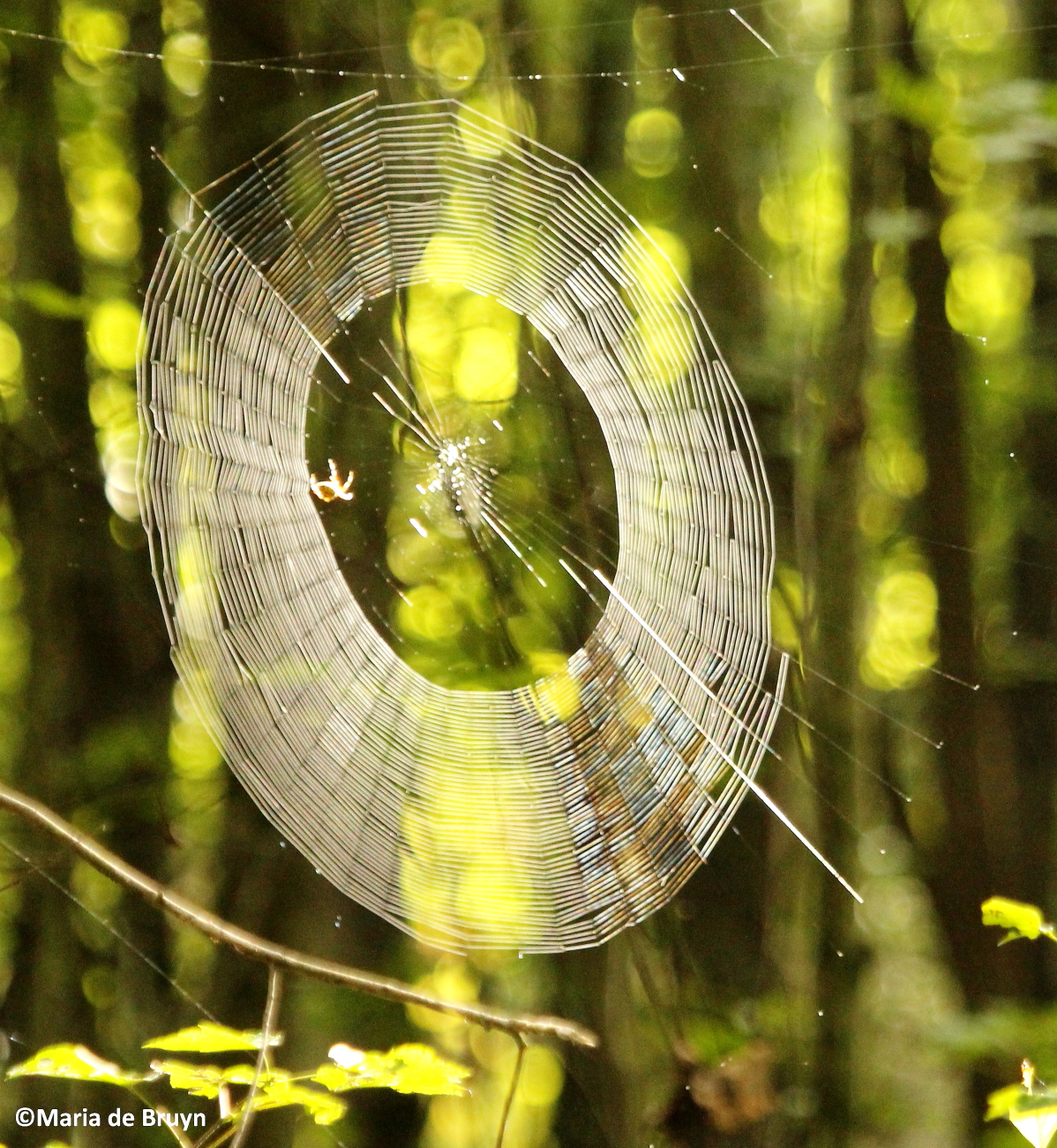 Spider Web Halloween Decorations: Sheetweb Dwarf Spider