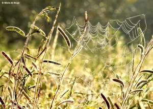 spider web IMG_9990©Maria de Bruyn res