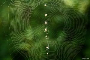 trashline orbweaver spider web IMG_7471©Maria de Bruynres