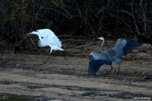 great blue heron and egret IMG_5083© Maria de Bruyn